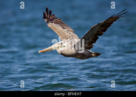 Brauner Pelikan (Pelecanus Occidentalis) fliegen in Washington, USA. - Stockfoto