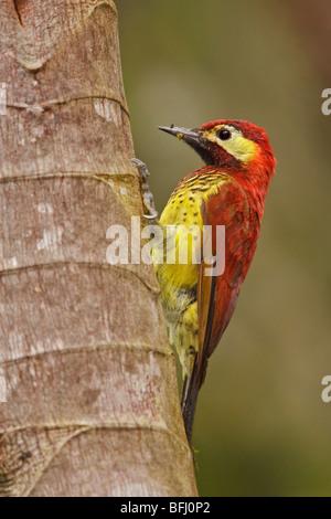 Crimson-Jaguaren Specht (Piculus Rivolii) thront auf einem Ast in Tandayapa Tal von Ecuador. - Stockfoto