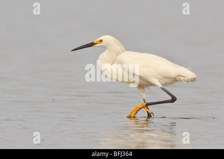 Snowy Silberreiher (Egretta unaufger) Fütterung im Wattenmeer an der Küste Ecuadors. - Stockfoto