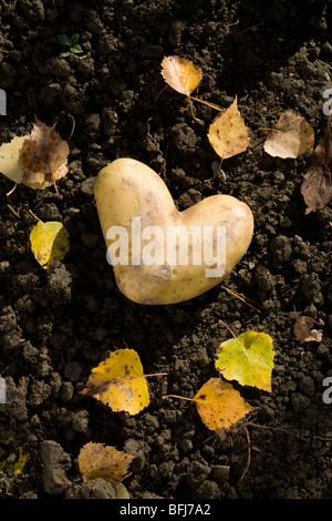 Eine herzförmige Kartoffel auf dem Boden, Schweden. - Stockfoto