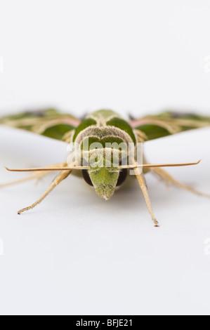 Daphnis Nerii. Oleander Hawk Moth auf weißem Hintergrund - Stockfoto