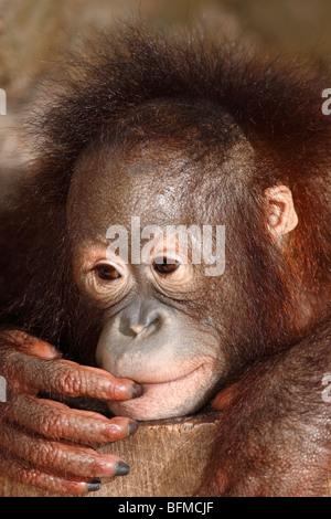 Bornean Orangutan, juvenile - Stockfoto