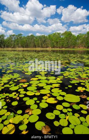 Australien, Northern Territory, Kakadu-Nationalpark.  Seerosen in Annaburroo Billabong. (PR) - Stockfoto