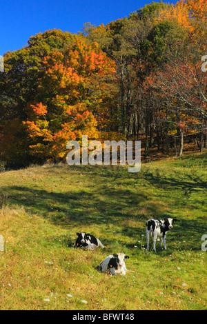 Kühe auf der Wiese entlang der Blue Ridge Parkway in der Nähe von Tye River, Virginia - Stockfoto