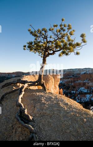 Protze Kiefer auf Bergrücken aus Queens Gardens-Navajo Loop Trails, Bryce-Canyon-Nationalpark, Utah - Stockfoto