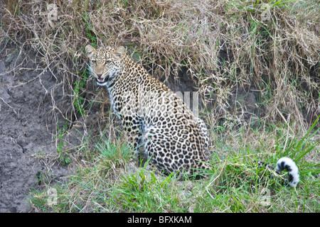 Weibliche afrikanischen Leoparden, Panthera Pardus, sitzt neben dem Ufer eines Flusses. Masai Mara National Reserve, - Stockfoto