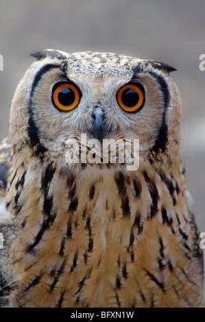 Uhu. Bubo Bubo Nahaufnahme des Kopfes stehen vor Augen. - Stockfoto