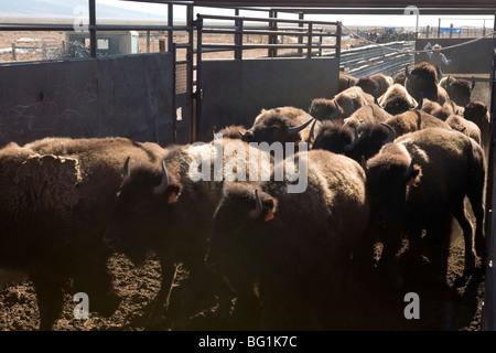 viel Bison in Wartebereich - Stockfoto