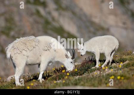 Bergziege (Oreamnos Americanus) Nanny und Billy, Mount Evans, Colorado, Vereinigte Staaten von Amerika, Nordamerika - Stockfoto