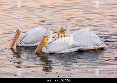 Gruppe von amerikanischen weißen Pelikane Pelecanus Erythrorhynchos, Fütterung Kollektiv bei Sonnenuntergang; Bodega - Stockfoto