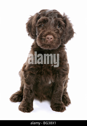 Portugiesische Wasserhunde - Welpen sitzen - Ausschneiden - Stockfoto