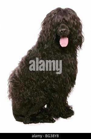 Portugiesischer Wasserhund - sitzen - Ausschneiden - Stockfoto