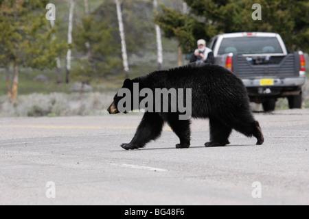Nordamerikanischer Schwarzbär Kreuzung Straße, Yellowstone-Nationalpark, Wyoming, Vereinigte Staaten von Amerika, - Stockfoto