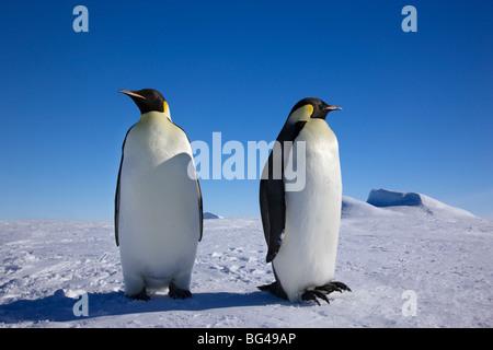 Kaiserpinguine (Aptenodytes forsteri), Snow Hill Island, Weddellmeer, Antarcticanguin - Stockfoto