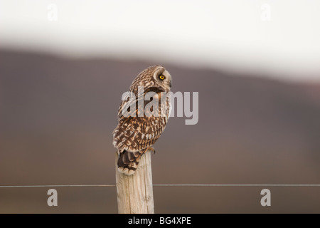 Kurze Eared Owl. Isle Of Wight - Stockfoto