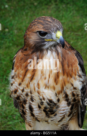 Red tailed Bussard (Buteo Jamaicensis) - Stockfoto