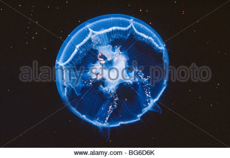 Alaska. Mond-Quallen (Aurelia Golden). - Stockfoto
