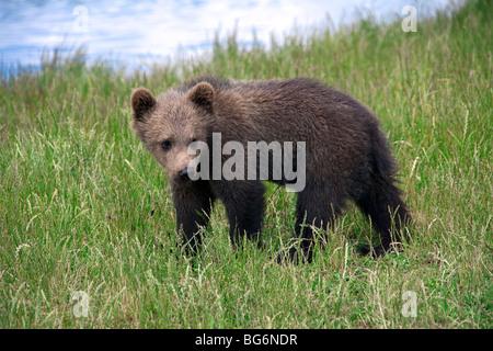Europäischer Braunbär (Ursus Arctos) Cub am Ufer des Flusses, Schweden - Stockfoto