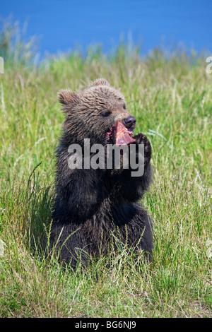Europäischer Braunbär (Ursus Arctos) junges Fleisch zu essen, am Ufer des Flusses, Schweden - Stockfoto