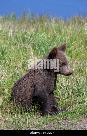 Europäischer Braunbär (Ursus Arctos) Cub sitzen am Ufer des Flusses, Schweden - Stockfoto