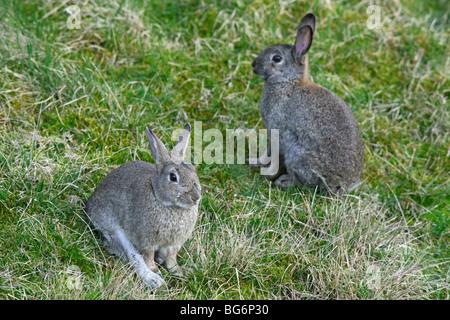 Zwei gemeinsame Europäischen Kaninchen (Oryctolagus Cuniculus) sitzen in der Wiese - Stockfoto