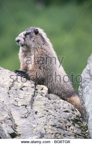 WA. Mt Baker-Snoqualmie National Forest. Hoary Murmeltier (Marmota Caligata), in alpinen Lebensraum. - Stockfoto