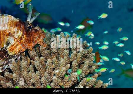 Rotfeuerfische auf Korallen Blick auf zukünftige Abendessen Bluegreen Chromis Fisch - Stockfoto