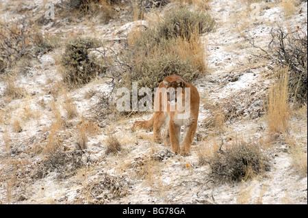 Cougar (Puma concolor) - gefangen im Winter Lebensraum, Bozeman, Montana, USA - Stockfoto