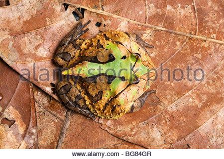 Gehörnte Frosch, Ceratophrys Arten, Südamerika - Stockfoto