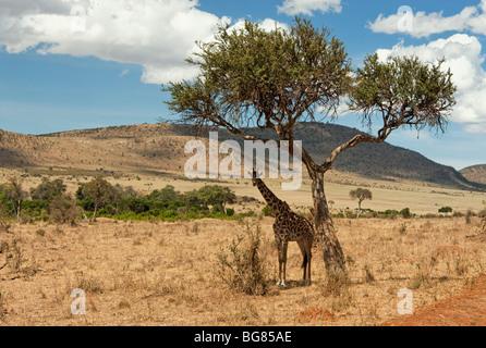 Einsame Giraffe unter einem Baum im Nationalpark Masai Mara in Kenia - Stockfoto