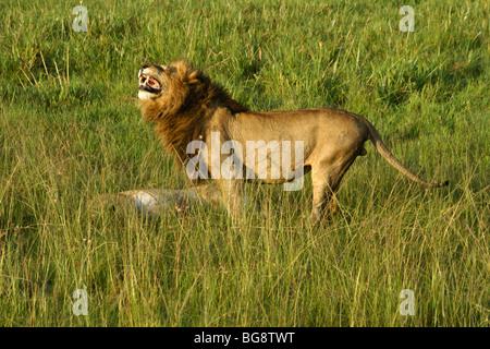 Männlichen afrikanischen Löwen, Flehman Gesicht über weiblich, Masai Mara, Kenia - Stockfoto