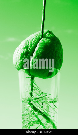 pflanze w chst in glas wasser stockfoto bild 48817405 alamy. Black Bedroom Furniture Sets. Home Design Ideas