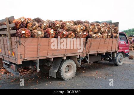 Eine Tyruck Belastung der Ölpalme frisches Obst Trauben (FFBs) an die Mühle geliefert. - Stockfoto