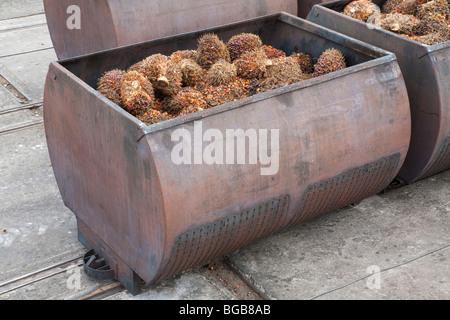 Große Metall-Container voll mit frischen Früchten der Ölpalme Trauben (FFBs) geben Sie die Mühle aufgereiht sind. - Stockfoto