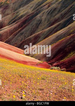 USA, Oregon, John Day Fossil Betten Nationaldenkmal. Chaenactis Blumen säumen vulkanischen Tongestein Pisten; Gemalte - Stockfoto