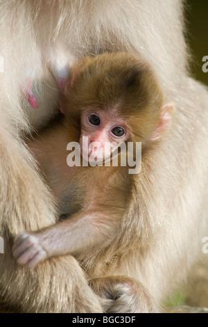Japanischen Makaken (Macaca Fuscata) Baby in Mutters Armen gehalten - Stockfoto