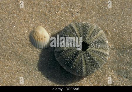 Urchin Skelett und Shell, Gambia, Afrika - Stockfoto