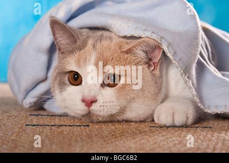 Britisch Kurzhaar Katze schaut unter einer Decke - Stockfoto