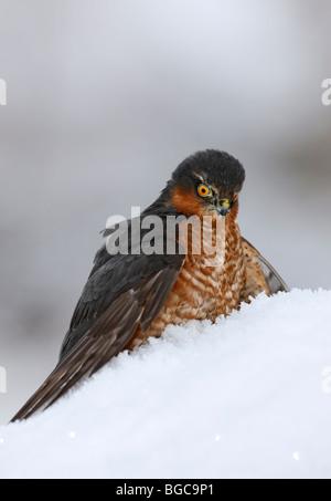 Sparrowhawk Accipiter Nisus auf Tötung im Schnee - Stockfoto