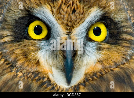 Short Eared Owl Asio flammeus Auge Detail im Osten der USA, durch Überspringen Moody/Dembinsky Foto Assoc - Stockfoto