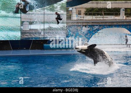 Shamu führt der Schwertwal in der Believe Show in Seaworld Orlando, Florida - Stockfoto