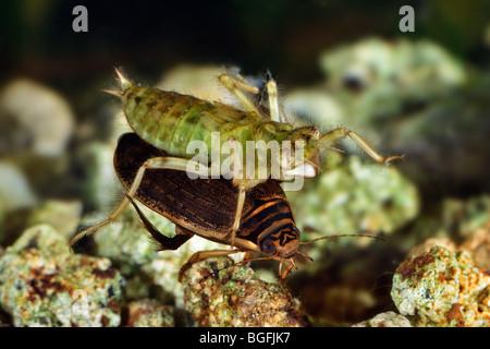 Schwarz wasserk fer tauchen wasserk fer larve larven for Larven im teich