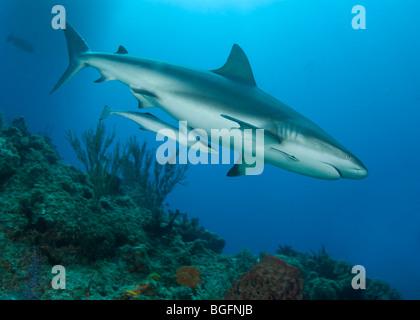 Profil von einem karibischen Riffhai (Carcharhinius Perezi) Schwimmen im Grand Bahama Bank. - Stockfoto