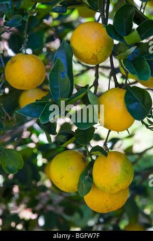 Valencia-Orangen in Hawaii - Stockfoto