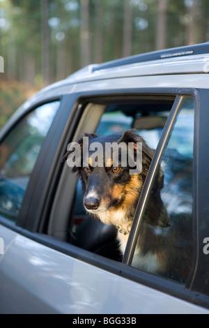 Border Collie aus Auto Fenster einzigen erwachsenen männlichen New Forest, Hampshire, Uk - Stockfoto