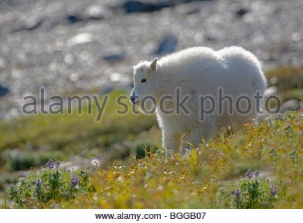 Alaska. Mountain Goat Kid (Oreamnos Americanus) Fütterung an einem Berghang in Kenai Fjords National Park. - Stockfoto