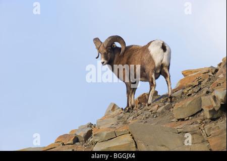 Ein erwachsenes Männchen Bighorn Schafe - Stockfoto