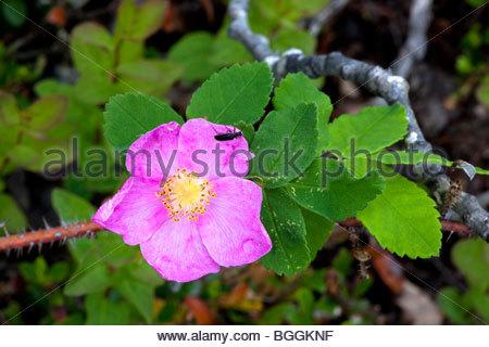 Einzelnen stacheligen Rosenblüten mit Insekten krabbeln am Rande eines Blütenblattes. Kenai-Halbinsel in Alaska - Stockfoto