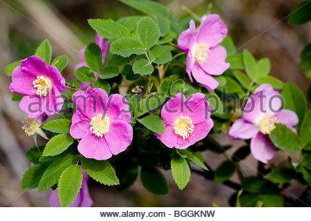 Cluster von rosa stachelige Rosenblüten () auf der Halbinsel Kenai, Alaska im Juni. - Stockfoto