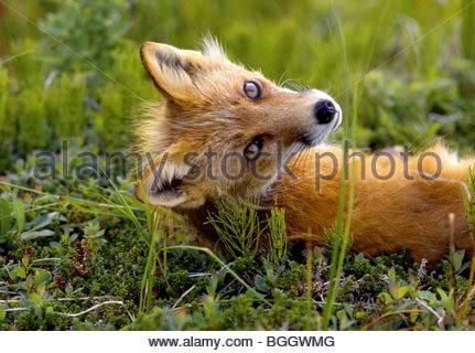 Alaska. Rotfuchs wendet sich an neugierige Fotograf aus seiner Grashügel auf den Aleuten-Inseln bestaunen. - Stockfoto